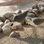 Masked Plover (5)