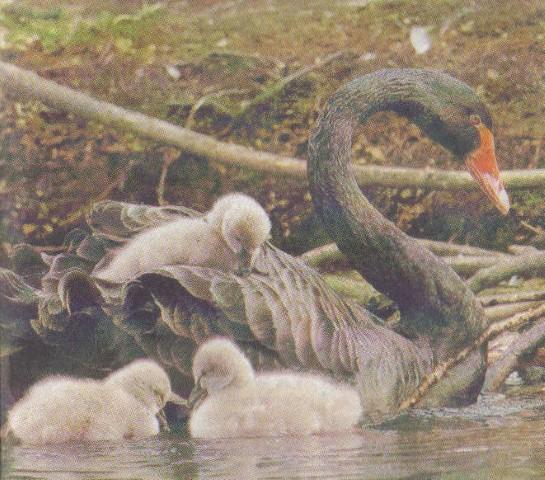 black swan cygnets 1 - 21st of November 2014 - Species Spotlight Black Swan