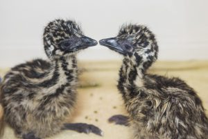 Two Emu chicks at Birdland