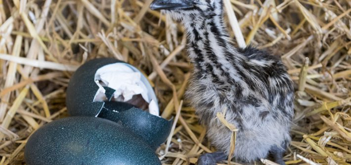 aEMU CHICK 30 Jan 15 006 1 710x335 - Birdland Hatches its First Emu Chick, ever!