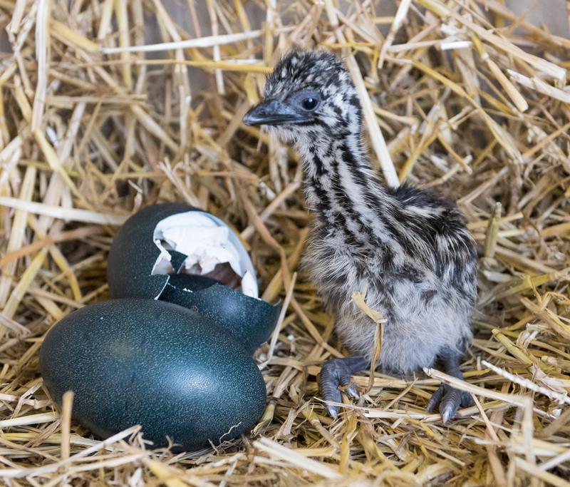aEMU CHICK 30 Jan 15 006 1 - Birdland Hatches its First Emu Chick, ever!