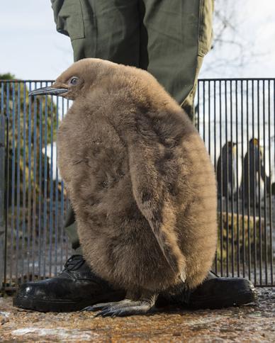 Big fluffy chick at Birdland