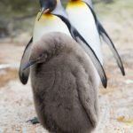 Feathered Father Penguins