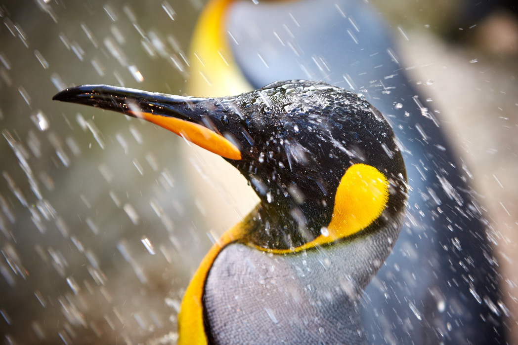 King Penguin at Birdland showers to cool down