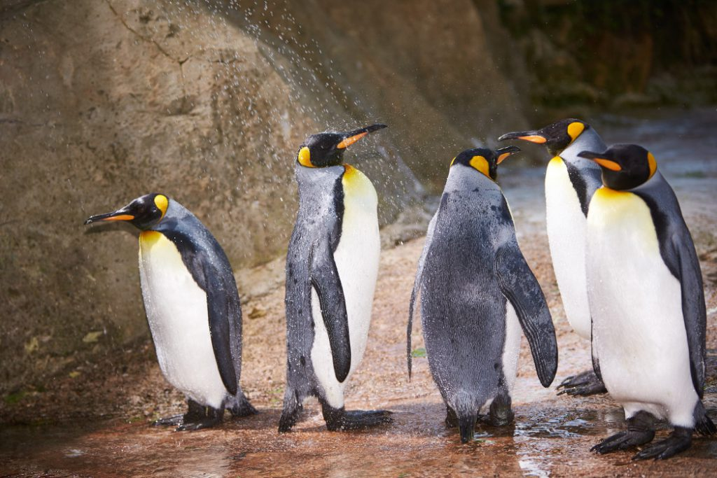 King Penguin's Queue up for the Shower