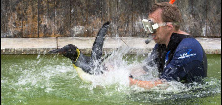 Penguin Swimming 1 710x335 - Head Keeper teaches King Penguin Chick to swim