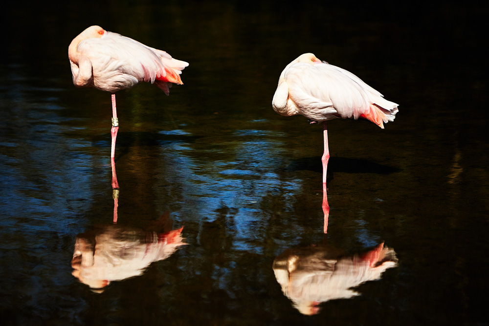 BOURTON. 08/08/2015. Flamingos reflected in water at Birdland in the Cotswolds. Photo credit: Cliff Hide/Birdland
