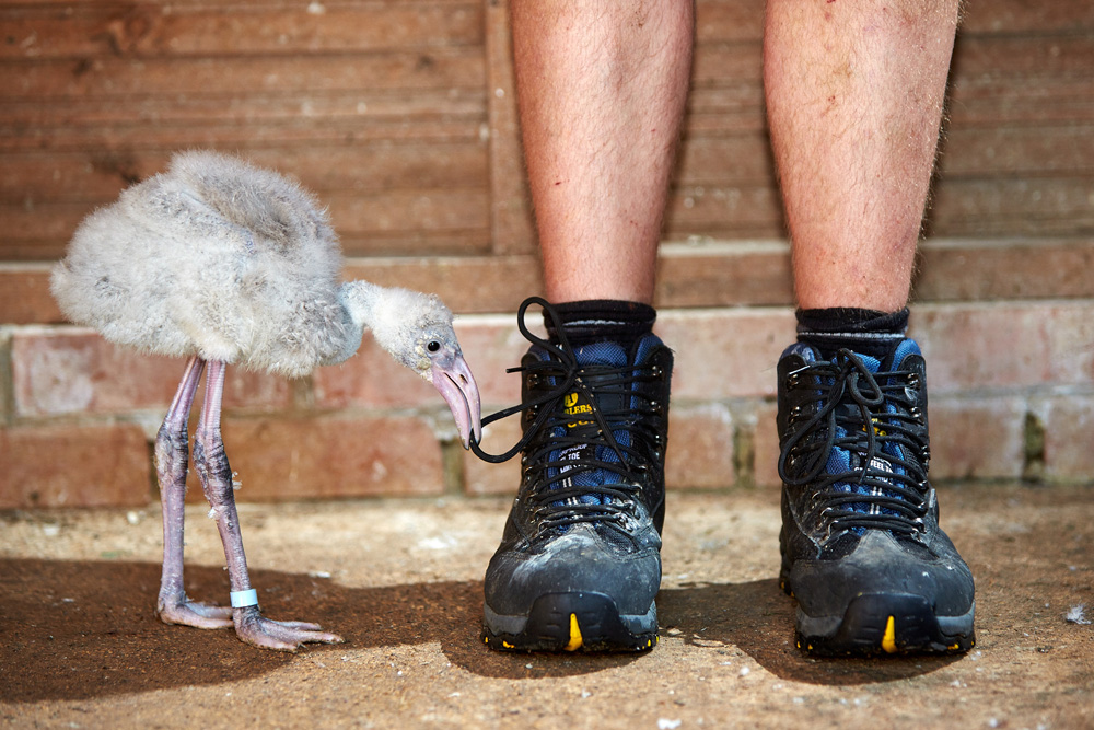 BOURTON. 08/08/2015. Head keeper Al Keen with a one month old Flamingo chick at Birdland in the Cotswolds. Photo credit: Cliff Hide/Birdland
