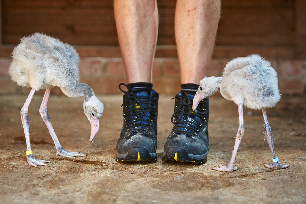 BOURTON. 08/08/2015. Head keeper Al Keen with a one month old Flamingo chicks at Birdland in the Cotswolds. Photo credit: Cliff Hide/Birdland