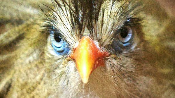 The Ferocious Crested Seriema.Birdland 1 600x335 - Meet the New Arrivals