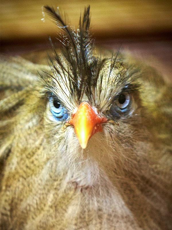 The Ferocious Crested Seriema.Birdland 1 - Meet the New Arrivals