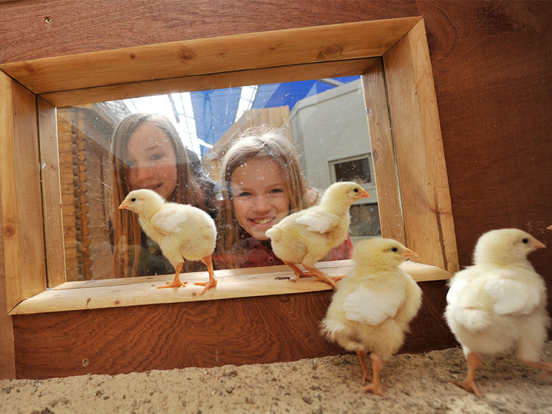 Easter chicks at Birdland 1 - Celebrate Feathered Mums!