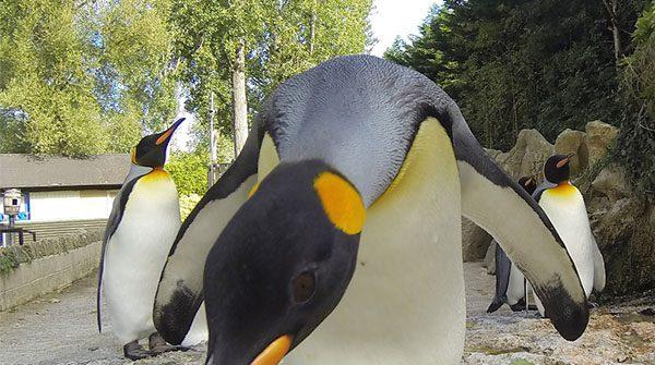 King Penguin Behaving Badly February Half Term 1 600x335 - Celebrate World Penguin Day!