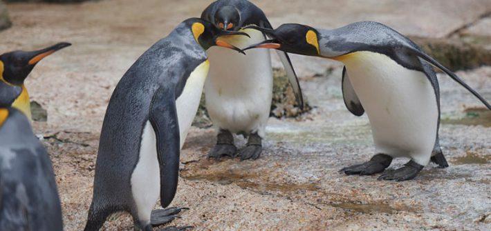 Penguins behaving badly at Birdland Park Gardens 1 710x335 - Birds Behaving Badly!