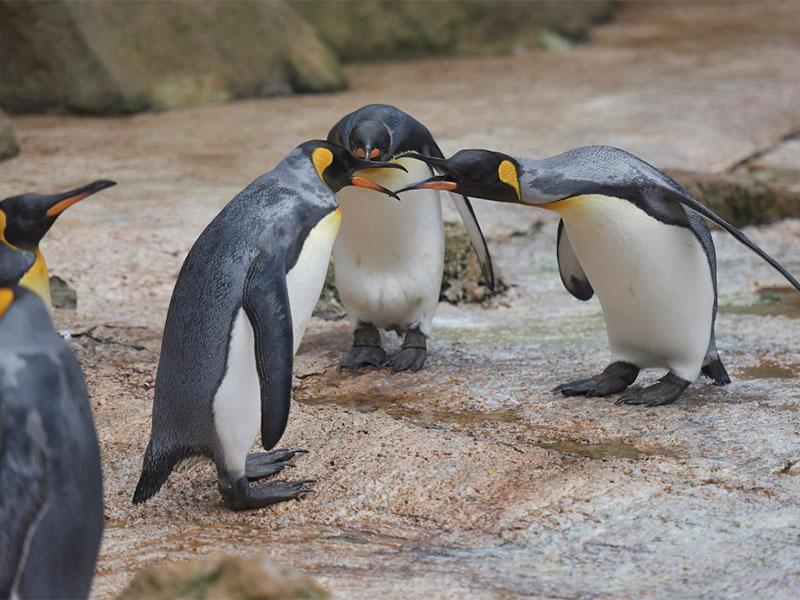 Penguins behaving badly at Birdland Park Gardens 1 - Celebrate World Penguin Day!
