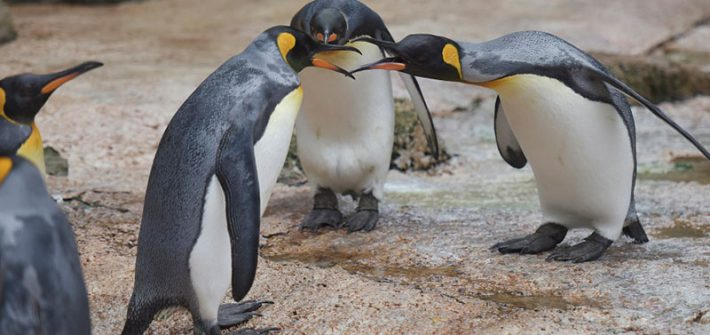Penguins behaving badly at Birdland Park & Gardens