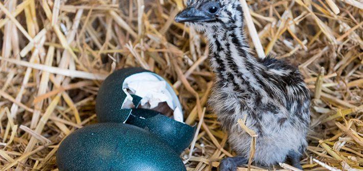 aEMU CHICK 30 Jan 15 006 1 710x335 - Real Easter Eggs at Birdland Park & Gardens