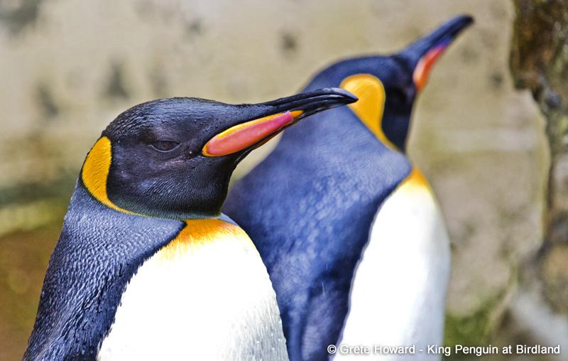 King Penguin CREDIT Grete Howard 1 - Penguin Week this May Half Term
