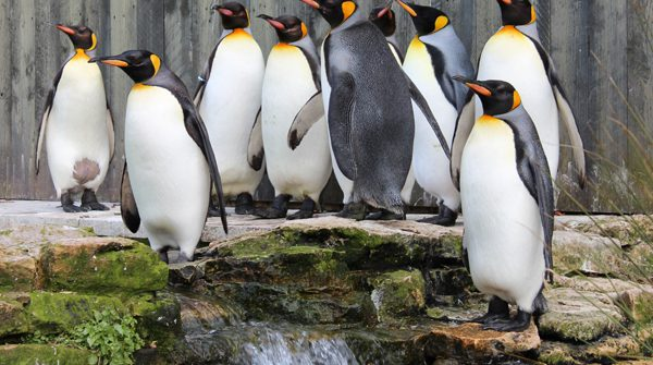King Penguins CREDIT Donna Perry 1 600x335 - Top 5 things to Discover at Birdland over May Half Term