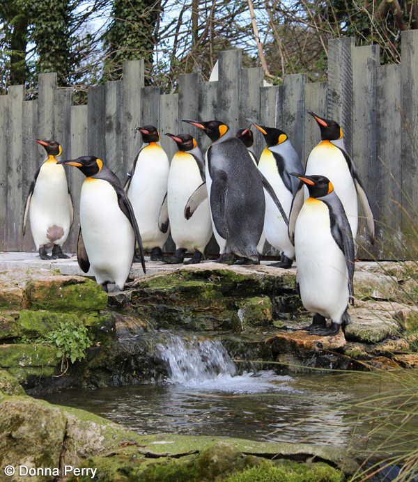 King Penguins CREDIT Donna Perry 1 - Top 5 things to Discover at Birdland over May Half Term