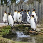 King Penguins CREDIT Donna Perry
