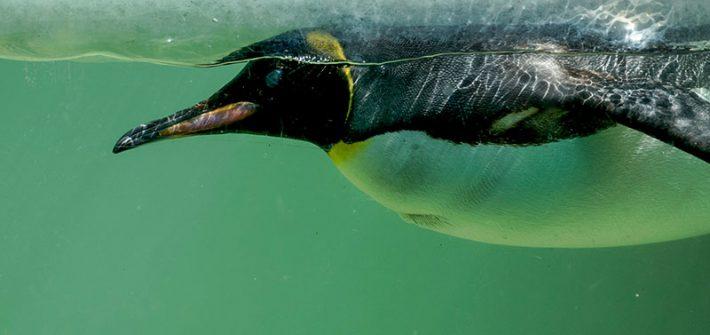 Penguin underwater 1 710x335 - Penguin Week this May Half Term