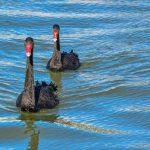 Australian Black Swan 1 150x150 - Australian Black Swan
