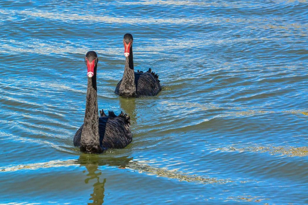 Australian Black Swan 1 - Australian Black Swan