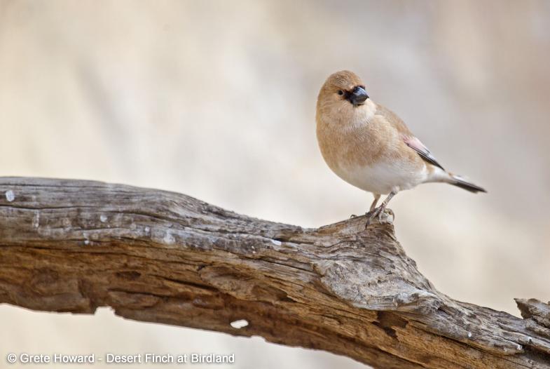 Desert Finch CREDIT Grete Howard 1 - Desert Finch