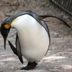 Meet our King Penguins