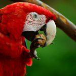 ara 856574 1280 1 150x150 - Scarlet Macaw