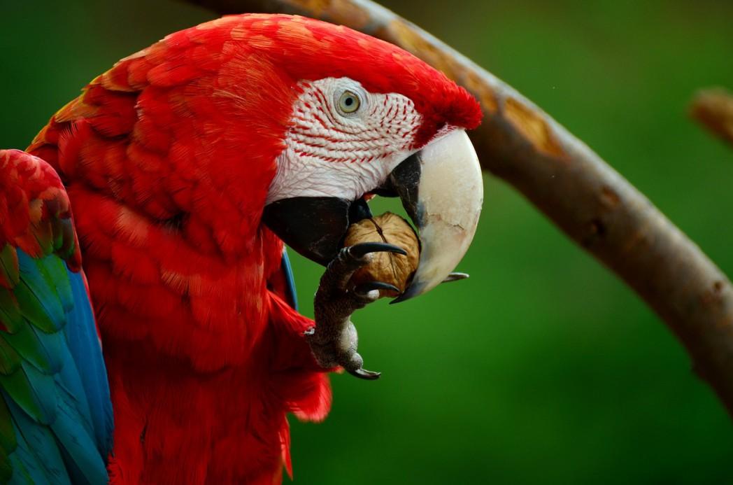 ara 856574 1280 1 - Scarlet Macaw