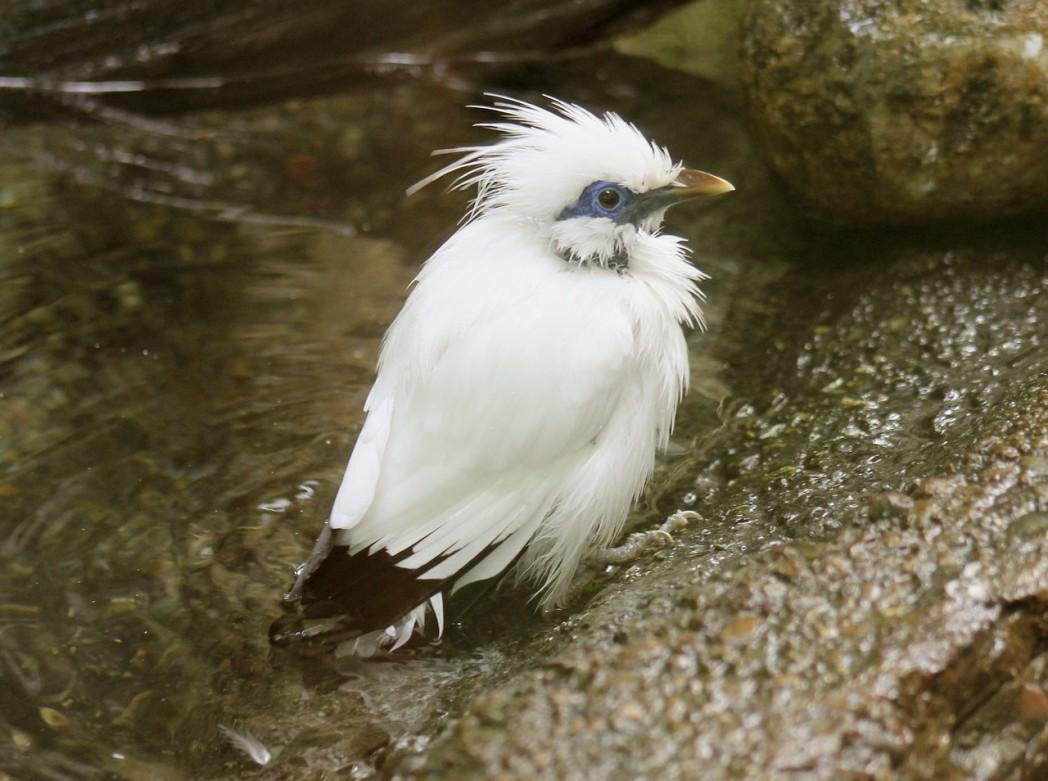 bali starling 1352853 1280 1 - Bali Starling