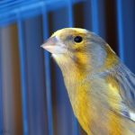 canary 20522 1280 1 150x150 - Canary (Domestic)