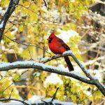cardinal 1060609 1280 1 150x150 - Red-Crested Cardinal