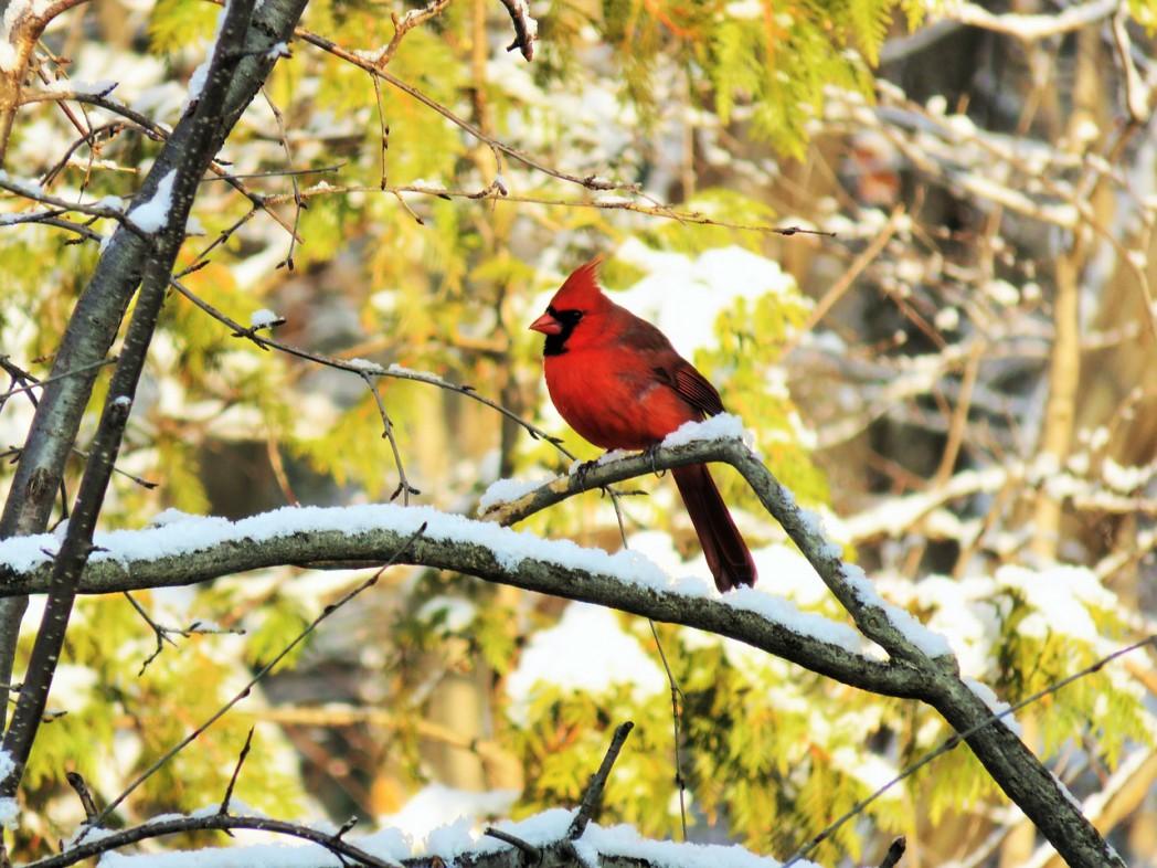 cardinal 1060609 1280 1 - Red-Crested Cardinal