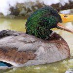 mallard 1234596 1280 1 150x150 - Wild Mallard Duck