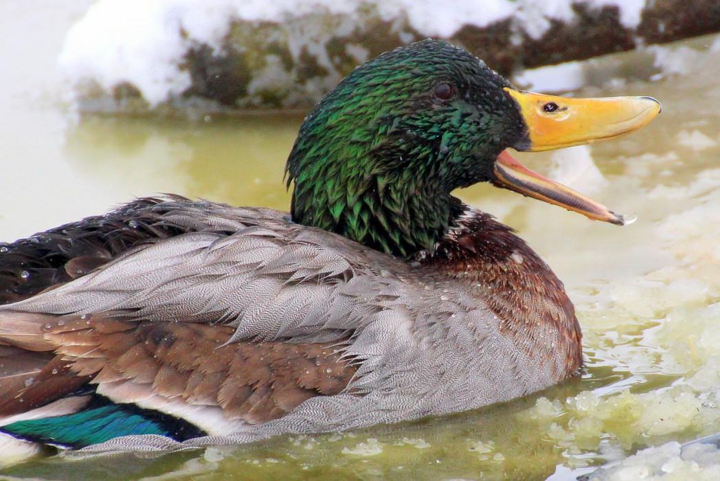 mallard 1234596 1280 1 - Wild Mallard Duck