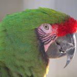 military macaw 997935 1280 1 150x150 - Military Macaw