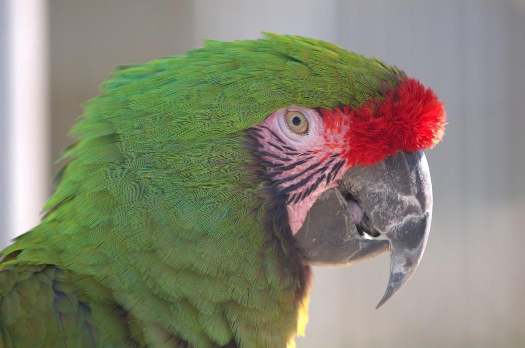 military macaw 997935 1280 1 - Military Macaw