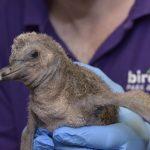 Baby Penguin at Birdland