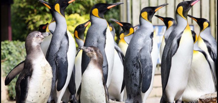 Birdland Penguin Shore Humboldts King Penguins. Birdland Park Gardens. Gloucestershire. jpg 1 710x335 - May Half Term - Penguin Week at Birdland