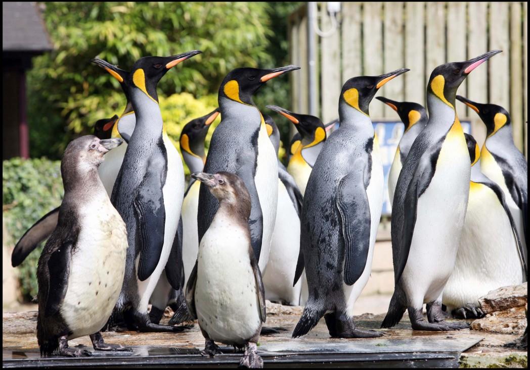 Birdland Penguin Shore Humboldts King Penguins. Birdland Park Gardens. Gloucestershire. jpg 1 - May Half Term - Penguin Week at Birdland