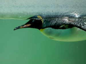 King Penguin underwater at Birdland