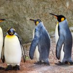 King Penguins at Birdland