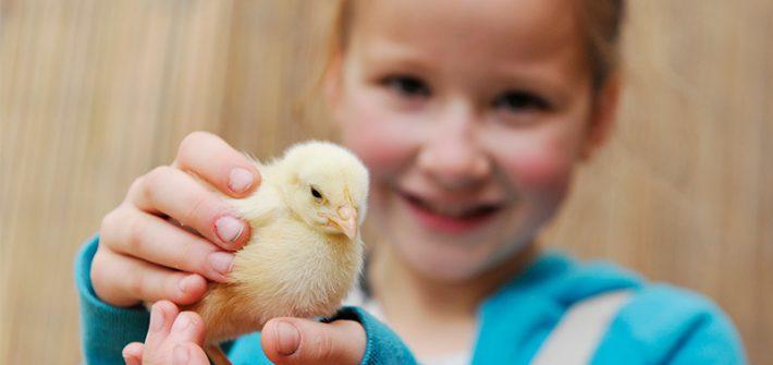 Easter Chicks at Birdland, Cotswolds