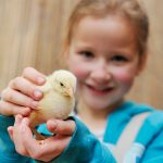 Easter Chicks at Birdland, Cotswolds