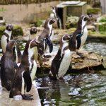 Humboldt Penguins at Birdland