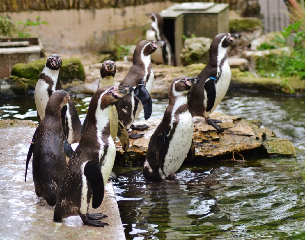 Humboldt Penguins at Birdland