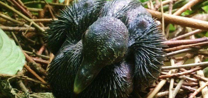 Nicobar pigeon chick